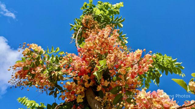 Cassia Grandis - Flowering Tree